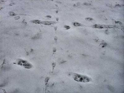 Как распознать следы животных