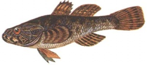 Речная рыба РОТАН.