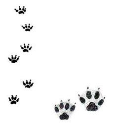 След енотовидной собаки