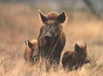 Каждый охотник желает знать, где живет кабан!