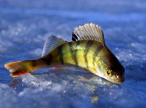 Особенности окуневой рыбалки в глухозимье